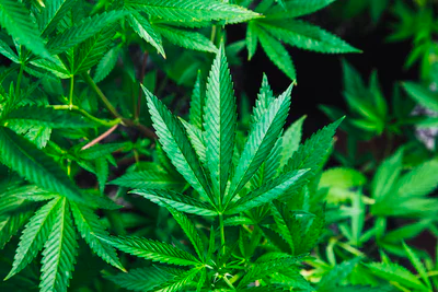 7 Health Benefits Of Cannabis That Everyone Should Know